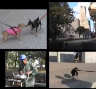 Battery Park in Manhattan with Chihuahuas